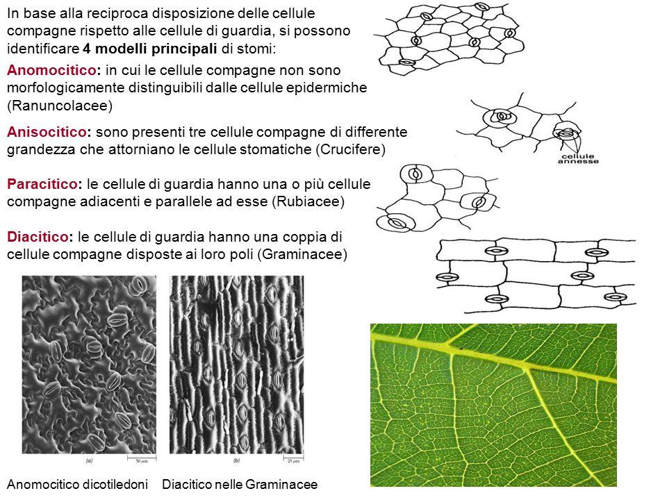 In base alla reciproca disposizione delle cellule compagne rispetto alle cellule di guardia, si possono identificare 4 modelli principali di stomi: