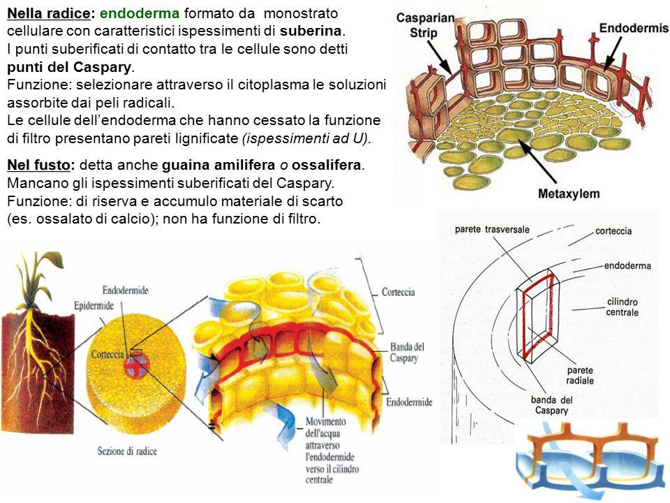 Nella radice: endoderma formato da monostrato cellulare con caratteristici ispessimenti di suberina.