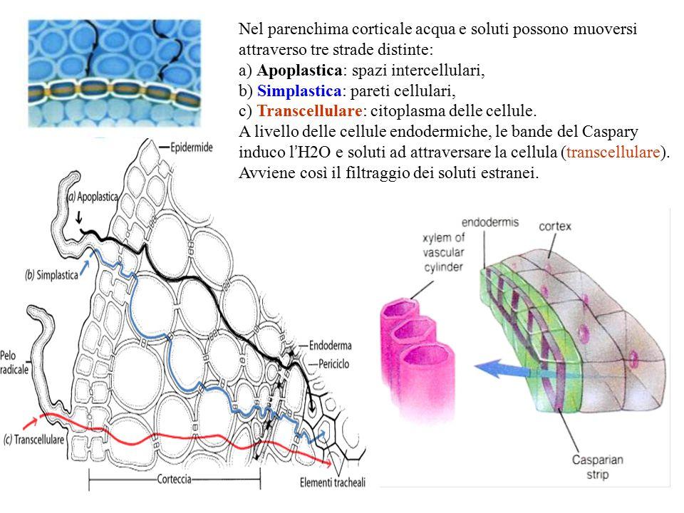 Nel parenchima corticale acqua e soluti possono muoversi attraverso tre strade distinte: