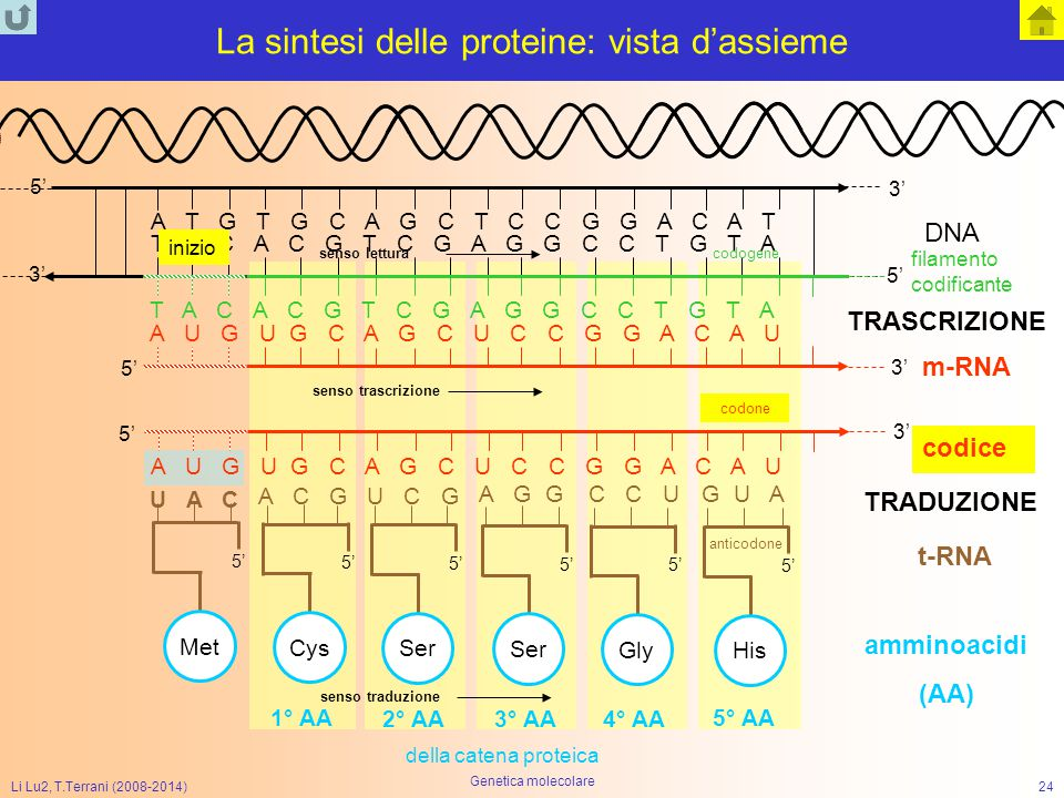 La sintesi delle proteine: vista d'assieme