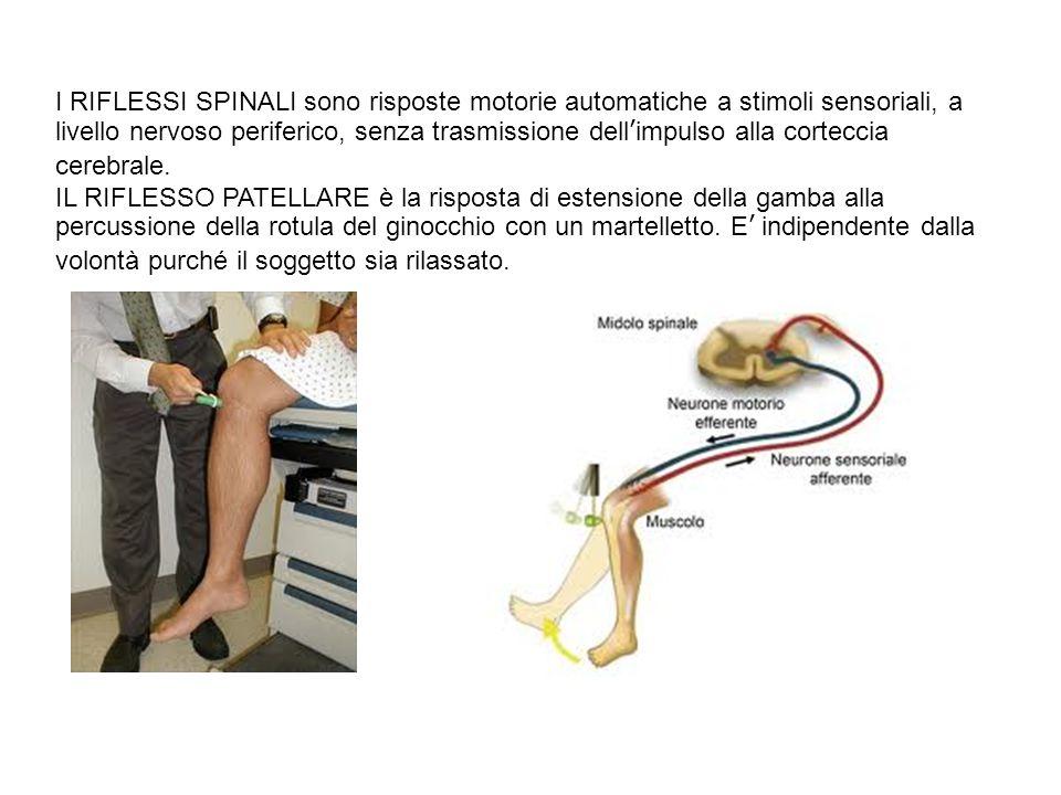 I RIFLESSI SPINALI sono risposte motorie automatiche a stimoli sensoriali, a livello nervoso periferico, senza trasmissione dell'impulso alla corteccia cerebrale.