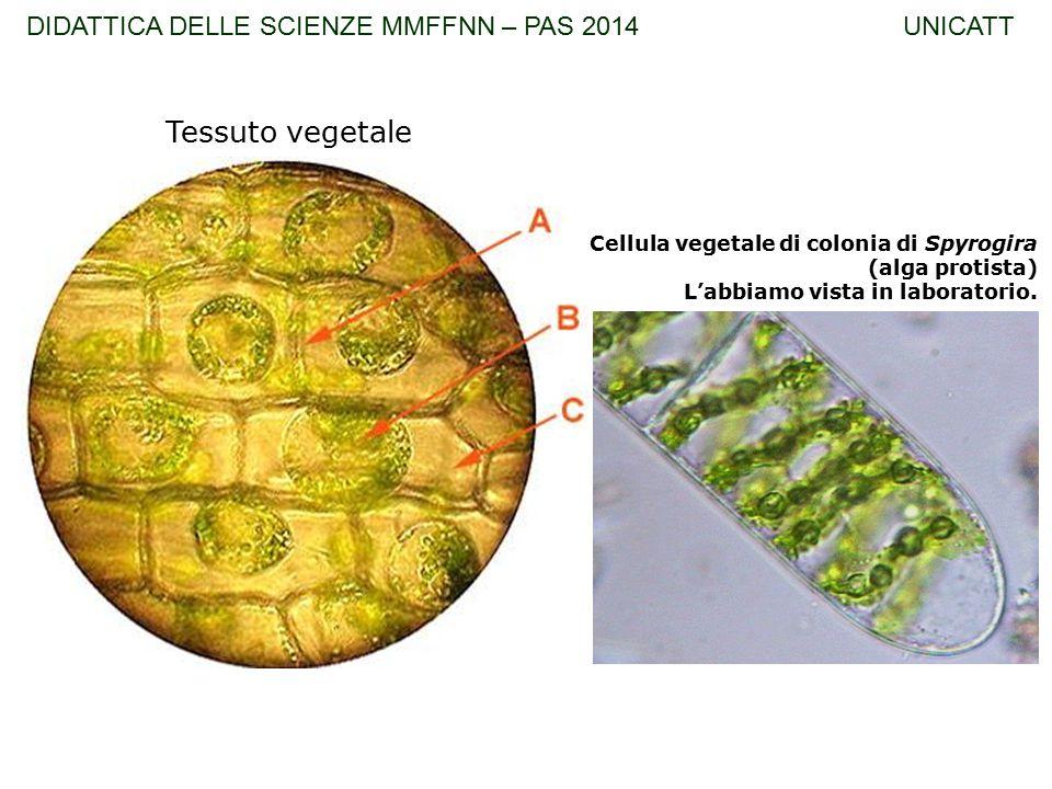 Tessuto vegetale DIDATTICA DELLE SCIENZE MMFFNN – PAS 2014 UNICATT