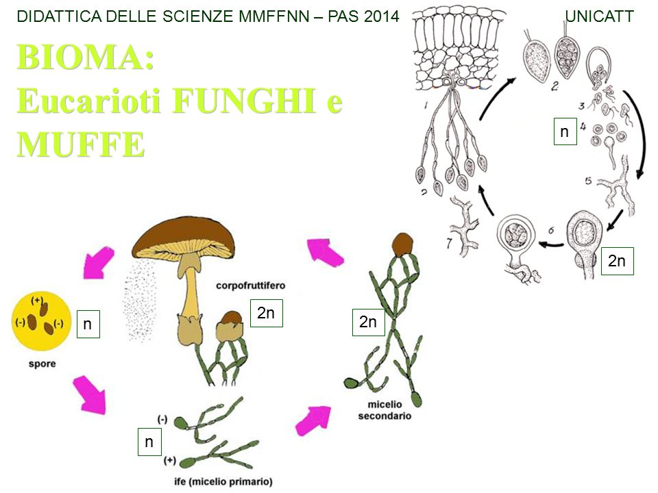 Eucarioti FUNGHI e MUFFE