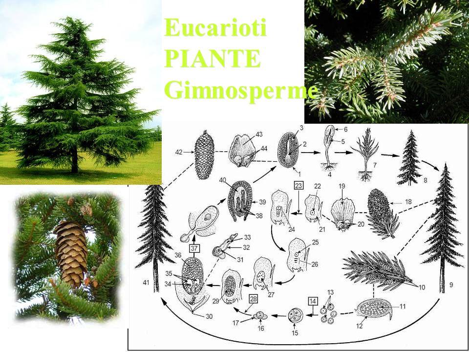 Eucarioti PIANTE Gimnosperme