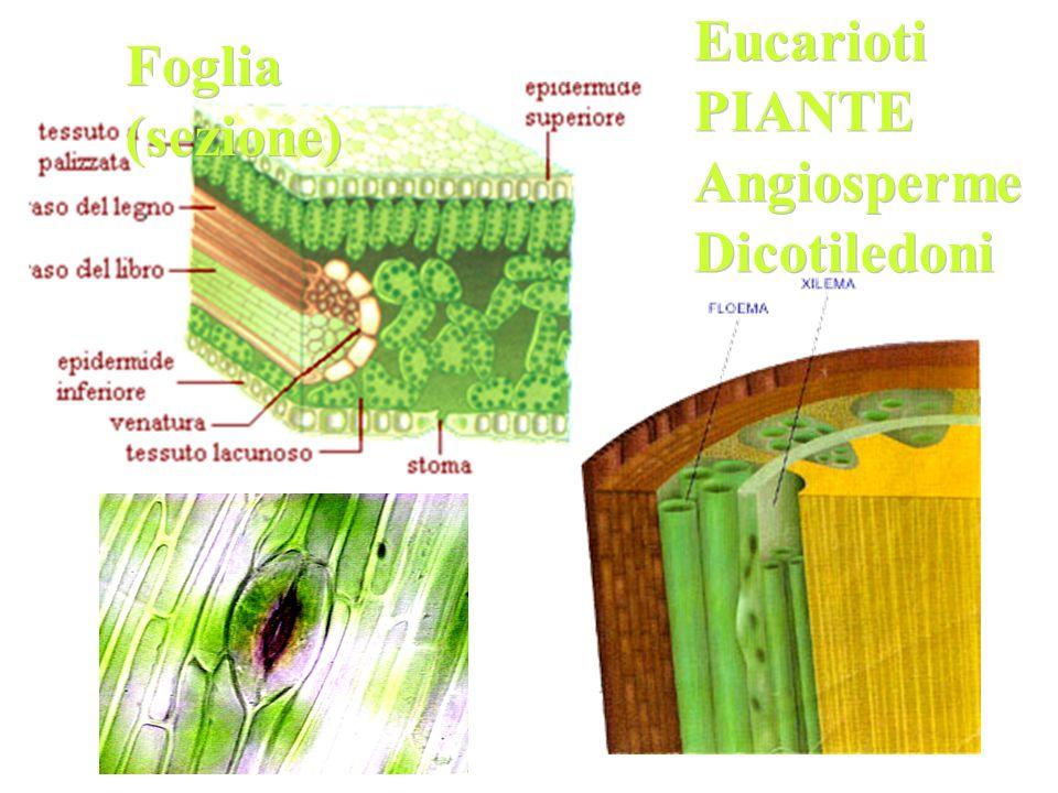 Eucarioti PIANTE Angiosperme Dicotiledoni Foglia (sezione)