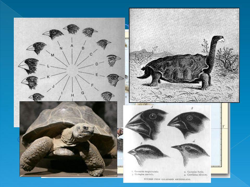 Le Galapagos Il 15 settembre 1835 fa rotta per le isole Galapagos dove rimare per circa un mese.