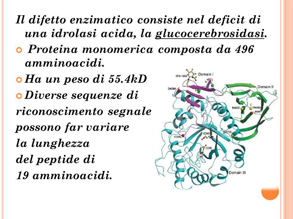 Il difetto enzimatico consiste nel deficit di una idrolasi acida, la glucocerebrosidasi.