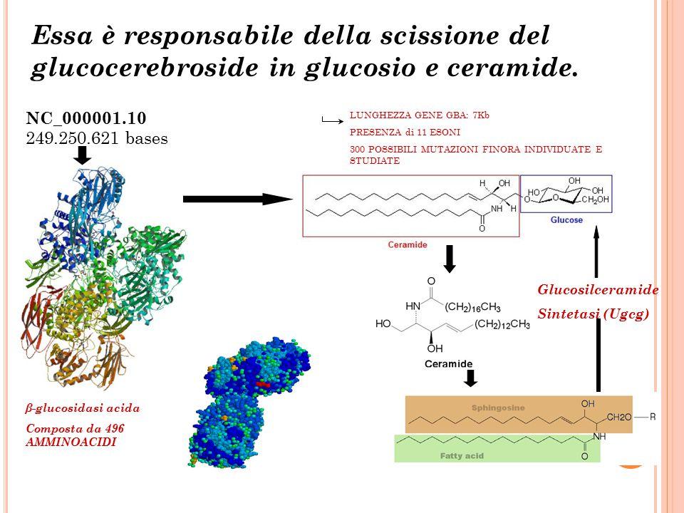 Essa è responsabile della scissione del glucocerebroside in glucosio e ceramide.