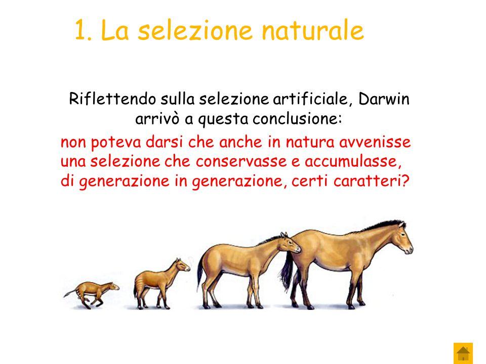 1. La selezione naturale Riflettendo sulla selezione artificiale, Darwin arrivò a questa conclusione:
