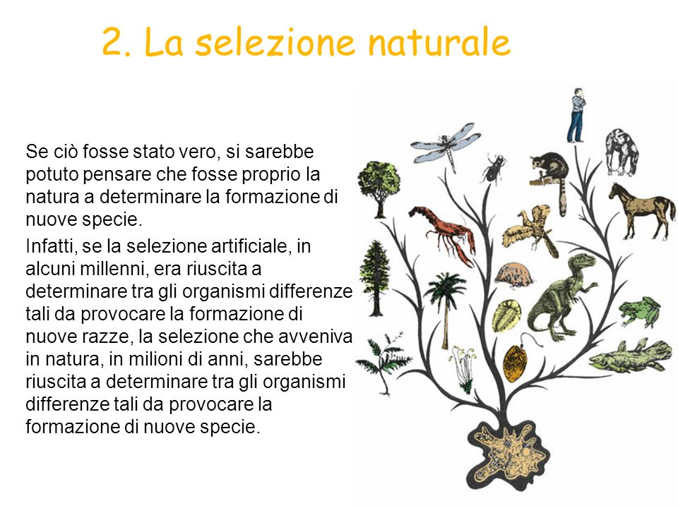 2. La selezione naturale Se ciò fosse stato vero, si sarebbe potuto pensare che fosse proprio la natura a determinare la formazione di nuove specie.