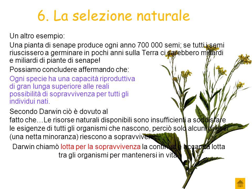 6. La selezione naturale Un altro esempio: