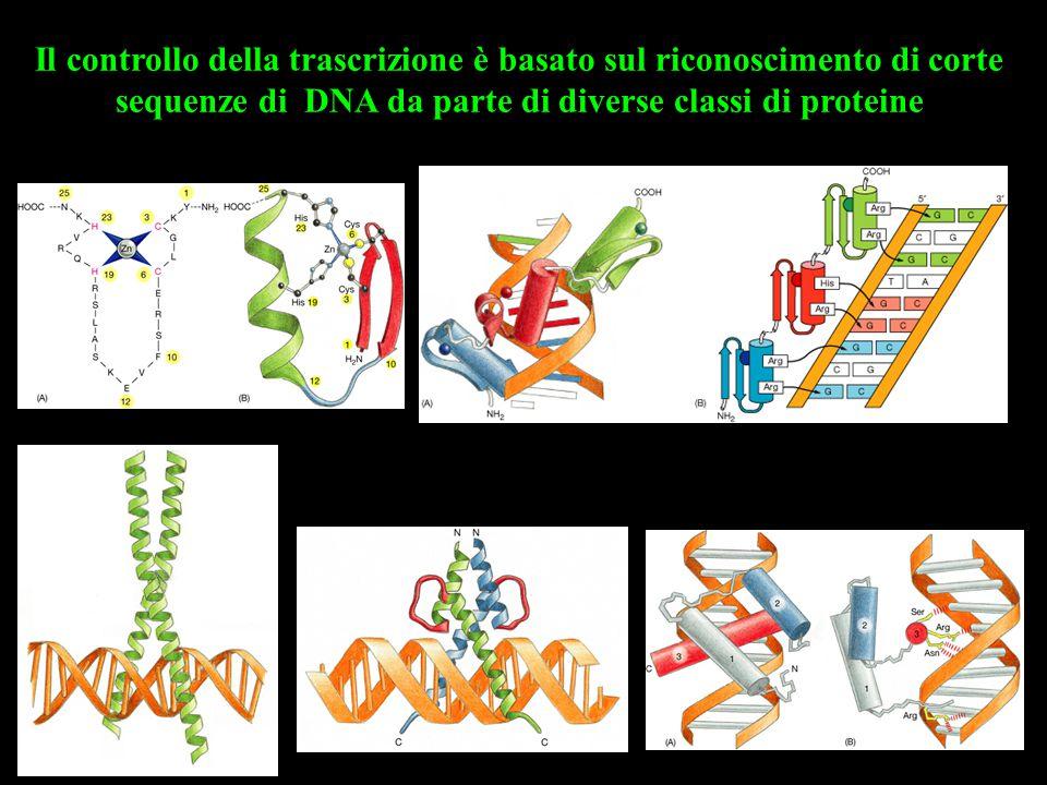 Il controllo della trascrizione è basato sul riconoscimento di corte sequenze di DNA da parte di diverse classi di proteine