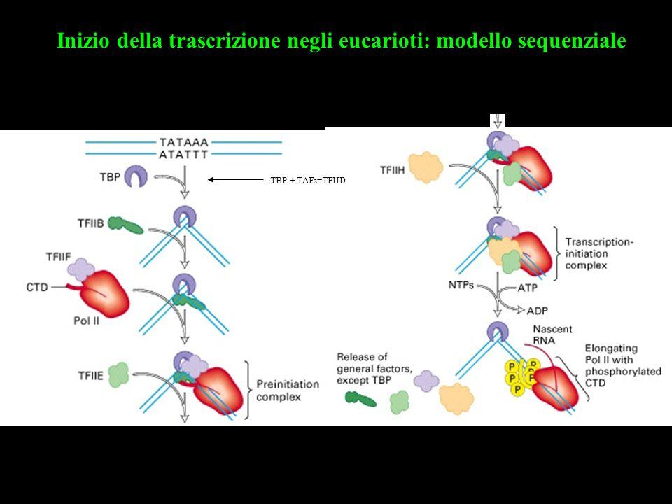 Inizio della trascrizione negli eucarioti: modello sequenziale