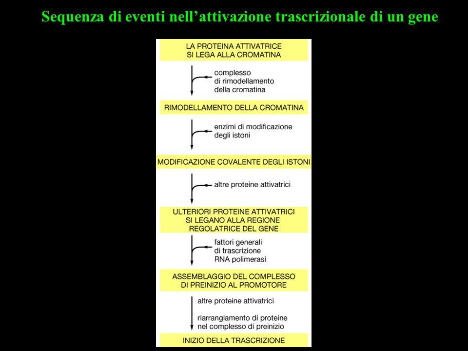 Sequenza di eventi nell'attivazione trascrizionale di un gene