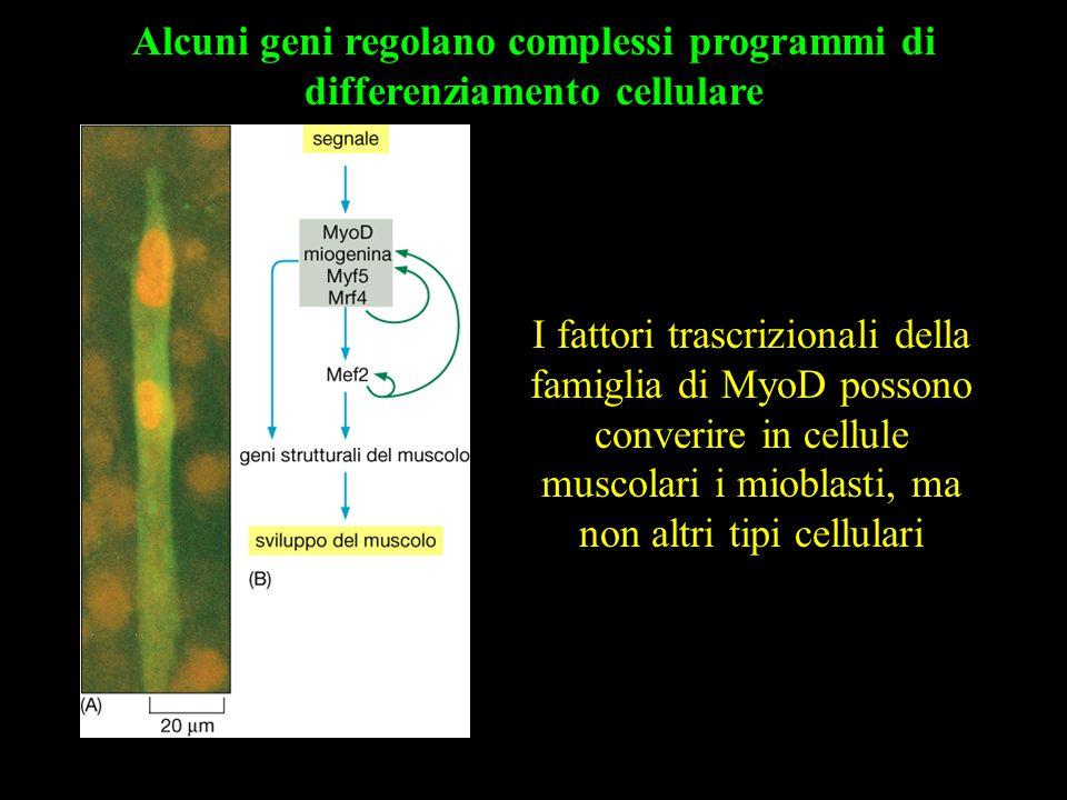 Alcuni geni regolano complessi programmi di differenziamento cellulare