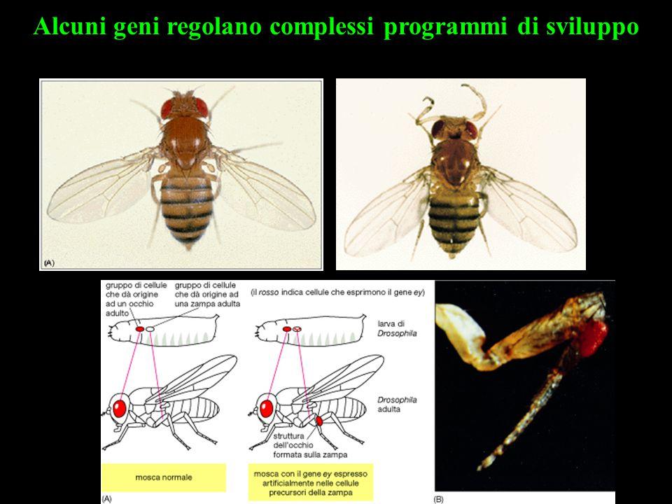 Alcuni geni regolano complessi programmi di sviluppo