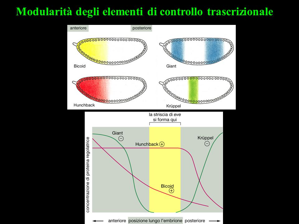 Modularità degli elementi di controllo trascrizionale