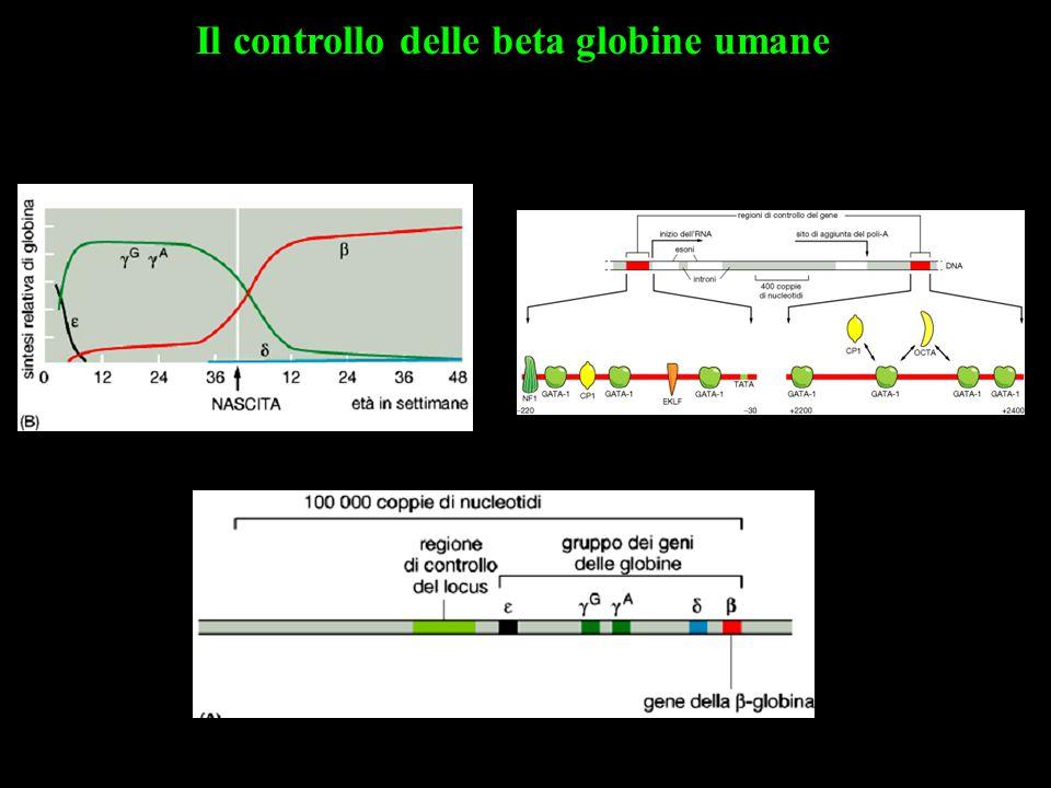Il controllo delle beta globine umane