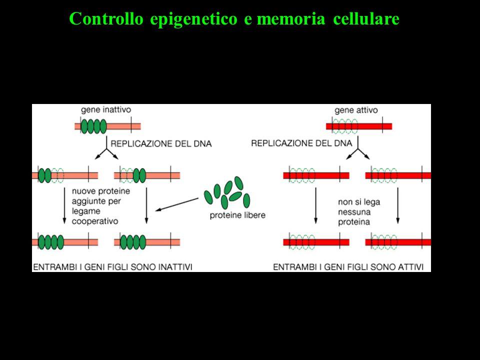 Controllo epigenetico e memoria cellulare