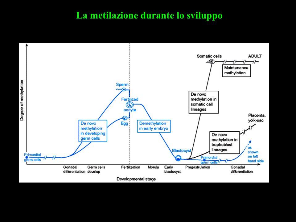 La metilazione durante lo sviluppo