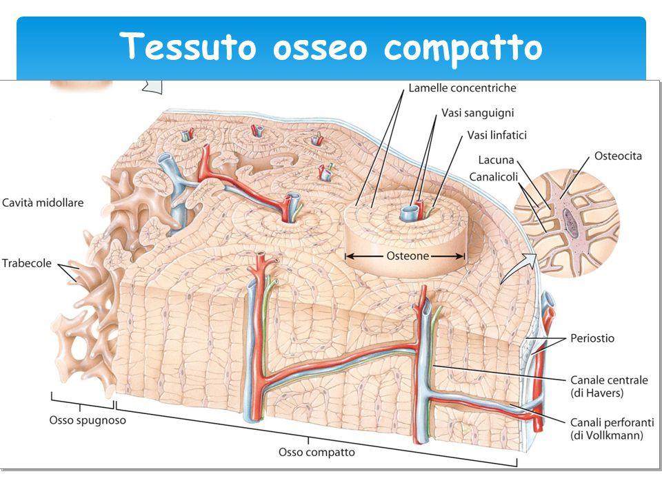 Tessuto osseo compatto