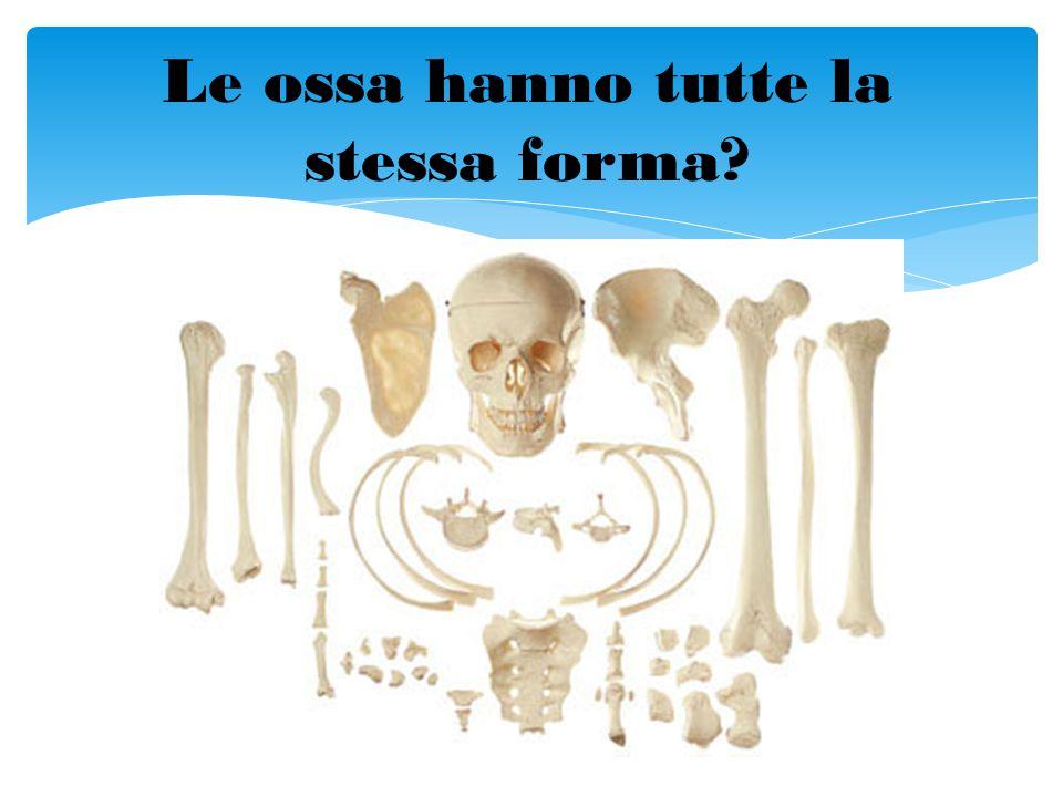 Le ossa hanno tutte la stessa forma