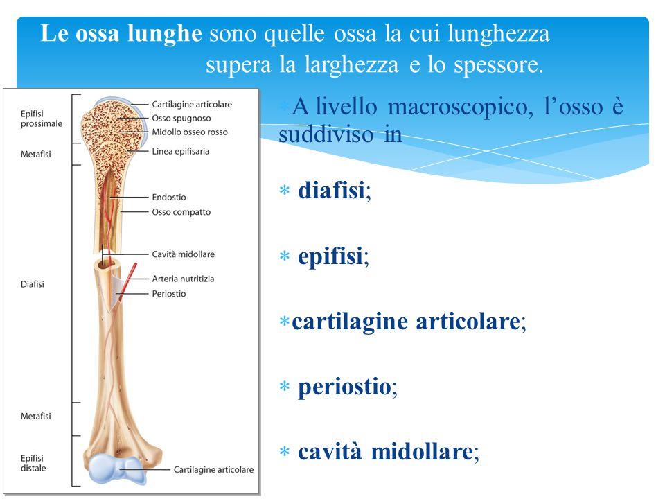 A livello macroscopico, l'osso è suddiviso in diafisi; epifisi;