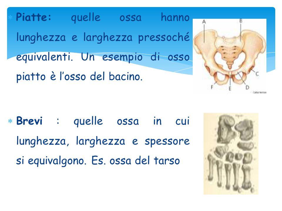 Piatte: quelle ossa hanno lunghezza e larghezza pressoché equivalenti