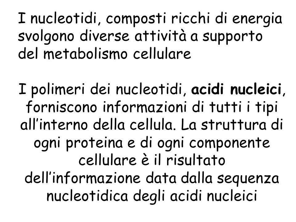 I nucleotidi, composti ricchi di energia svolgono diverse attività a supporto del metabolismo cellulare
