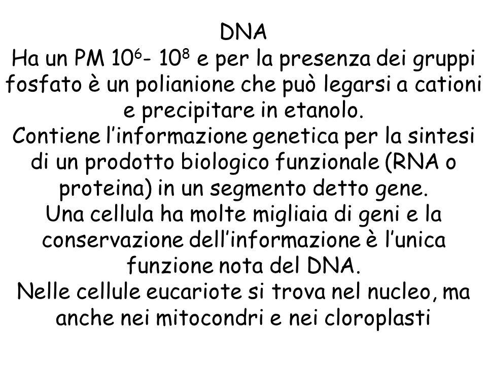 DNA Ha un PM 106- 108 e per la presenza dei gruppi fosfato è un polianione che può legarsi a cationi e precipitare in etanolo.