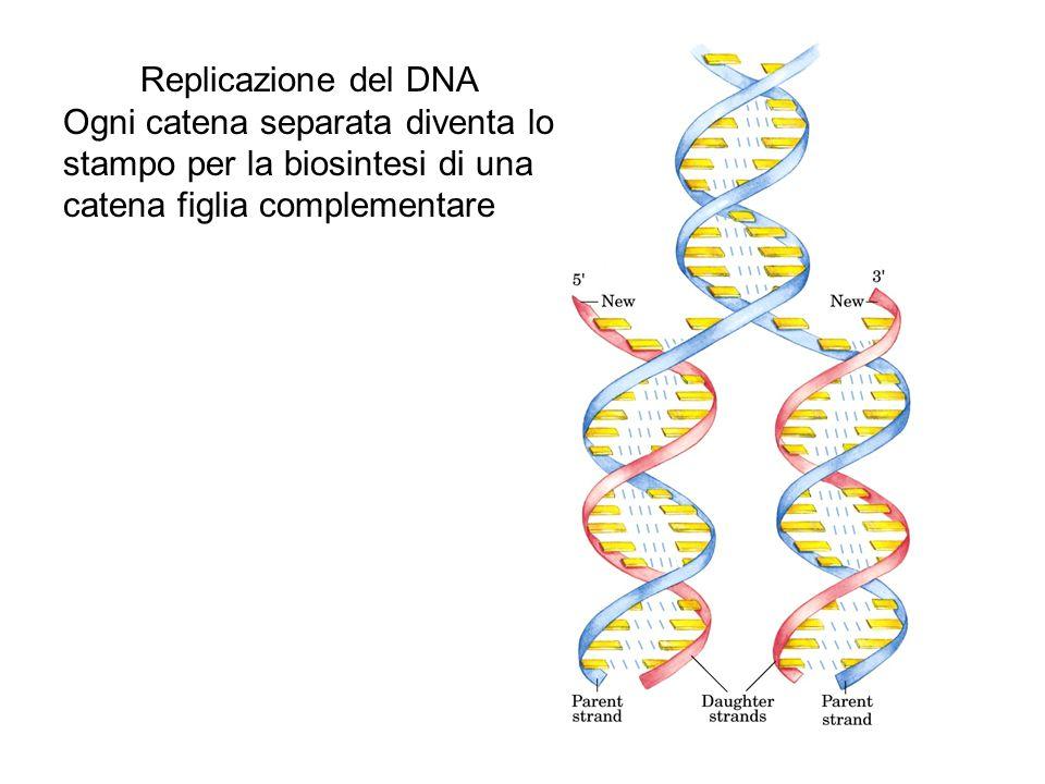 Replicazione del DNA Ogni catena separata diventa lo stampo per la biosintesi di una catena figlia complementare.