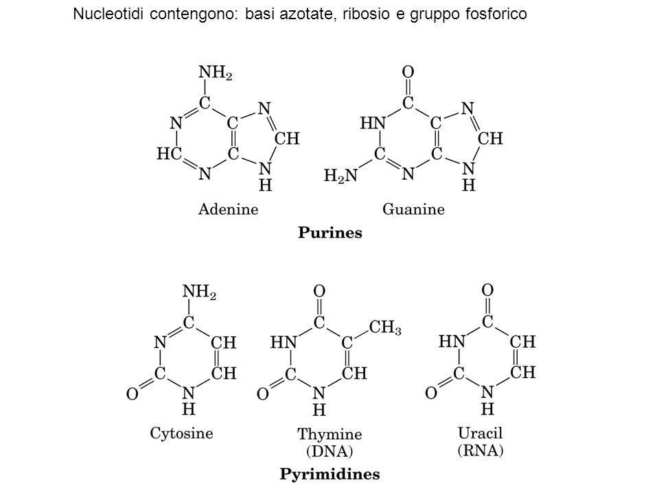 Nucleotidi contengono: basi azotate, ribosio e gruppo fosforico