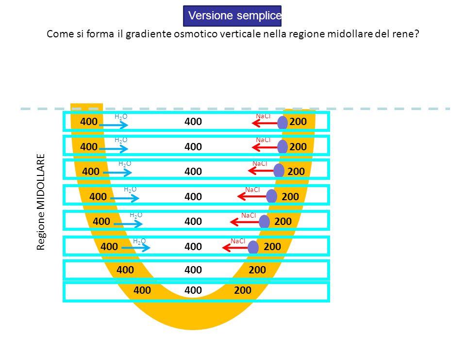 Versione semplice Come si forma il gradiente osmotico verticale nella regione midollare del rene H2O.