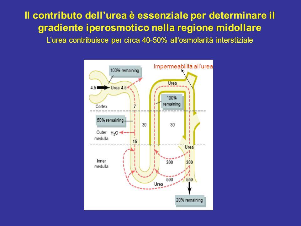 L'urea contribuisce per circa 40-50% all'osmolarità interstiziale