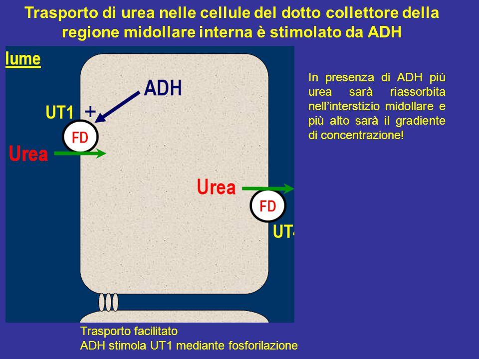 Trasporto di urea nelle cellule del dotto collettore della regione midollare interna è stimolato da ADH