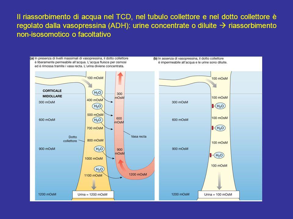Il riassorbimento di acqua nel TCD, nel tubulo collettore e nel dotto collettore è regolato dalla vasopressina (ADH): urine concentrate o diluite  riassorbimento non-isosomotico o facoltativo