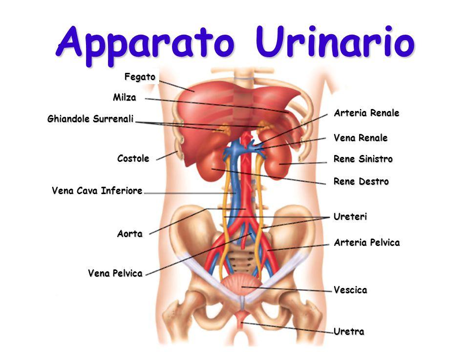 Apparato Urinario Fegato Milza Arteria Renale Ghiandole Surrenali