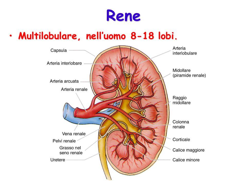 Rene Multilobulare, nell'uomo 8-18 lobi.