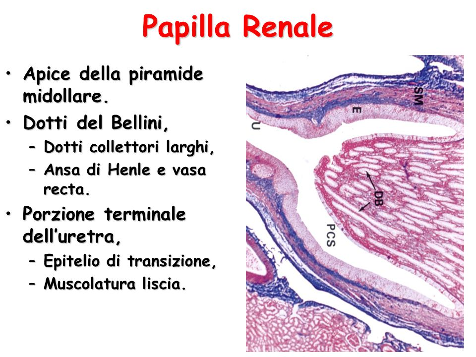 Papilla Renale Apice della piramide midollare. Dotti del Bellini,