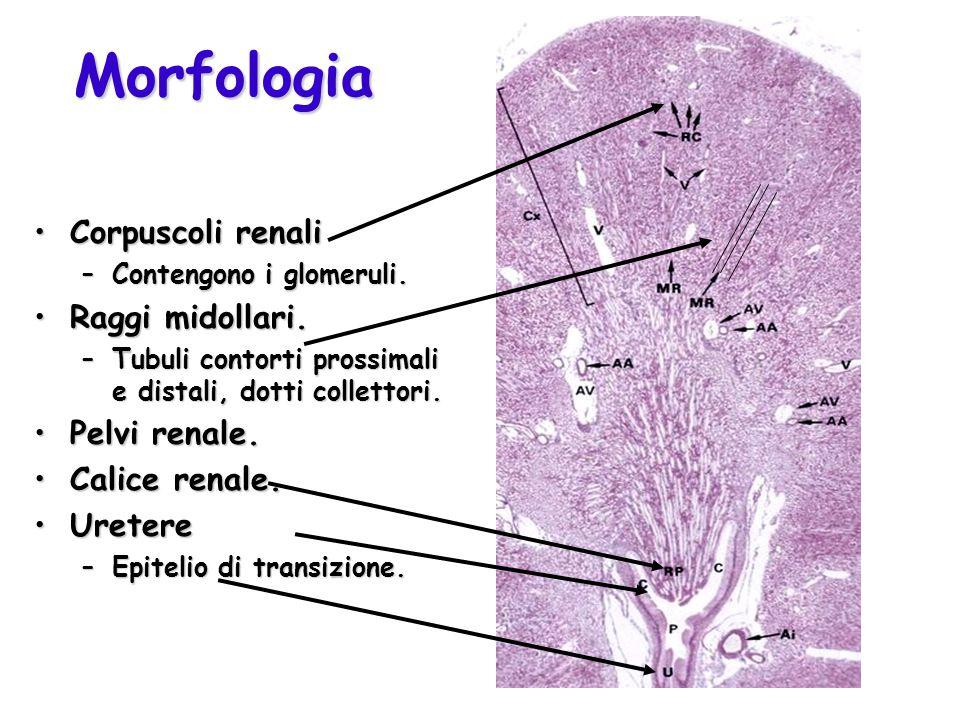 Morfologia Corpuscoli renali Raggi midollari. Pelvi renale.