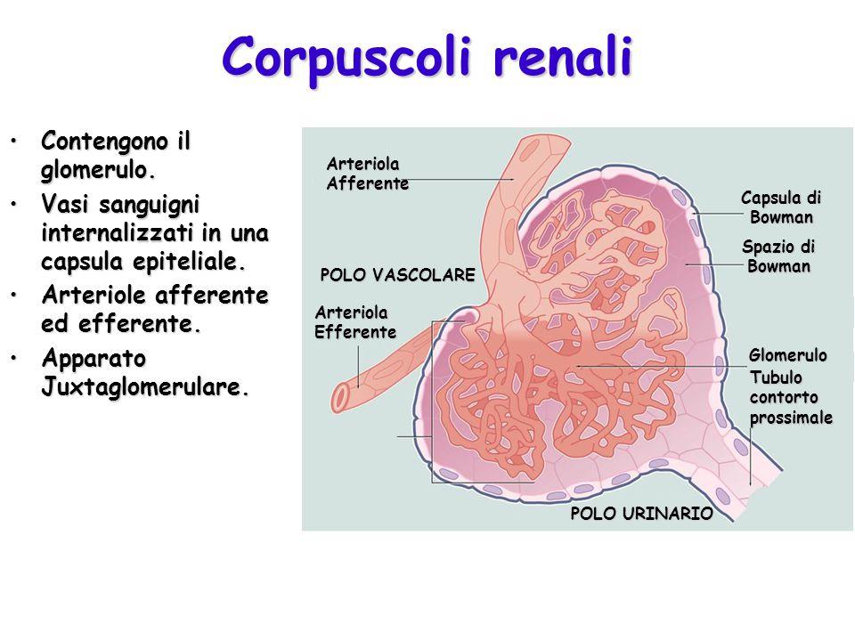 Corpuscoli renali Contengono il glomerulo.