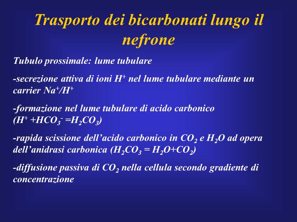 Trasporto dei bicarbonati lungo il nefrone