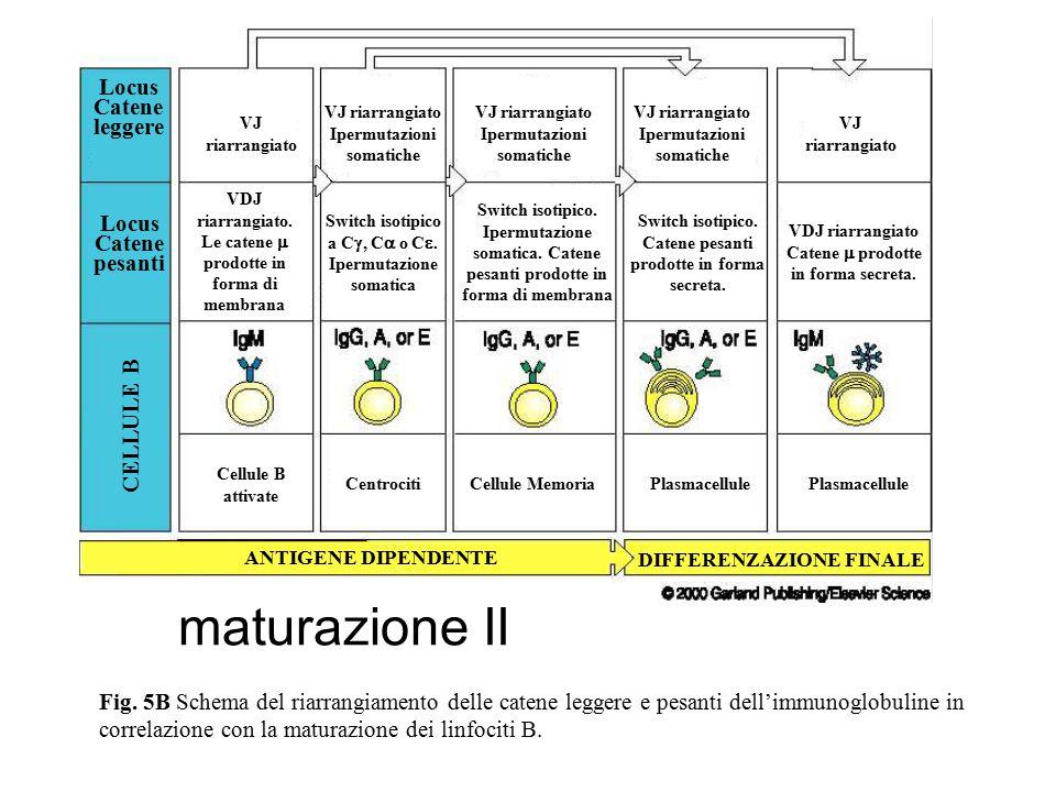 maturazione II Locus Catene leggere Locus Catene pesanti CELLULE B