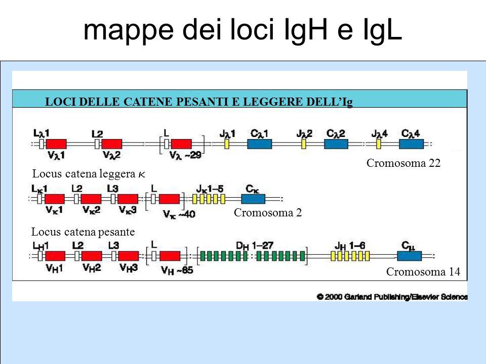 mappe dei loci IgH e IgL LOCI DELLE CATENE PESANTI E LEGGERE DELL'Ig