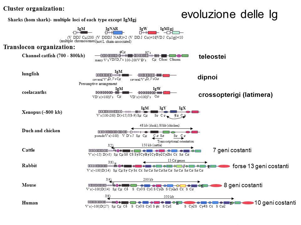evoluzione delle Ig Cluster organization: Translocon organization: