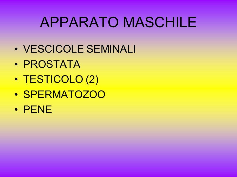 APPARATO MASCHILE VESCICOLE SEMINALI PROSTATA TESTICOLO (2)