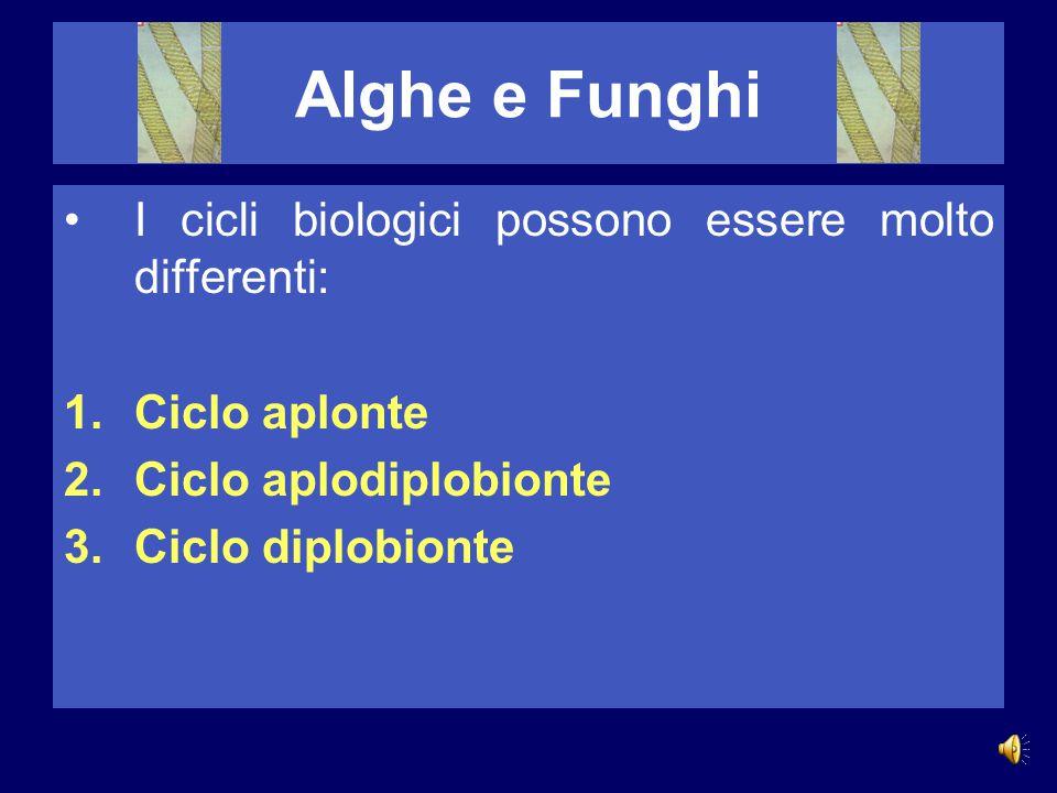 Alghe e Funghi I cicli biologici possono essere molto differenti: