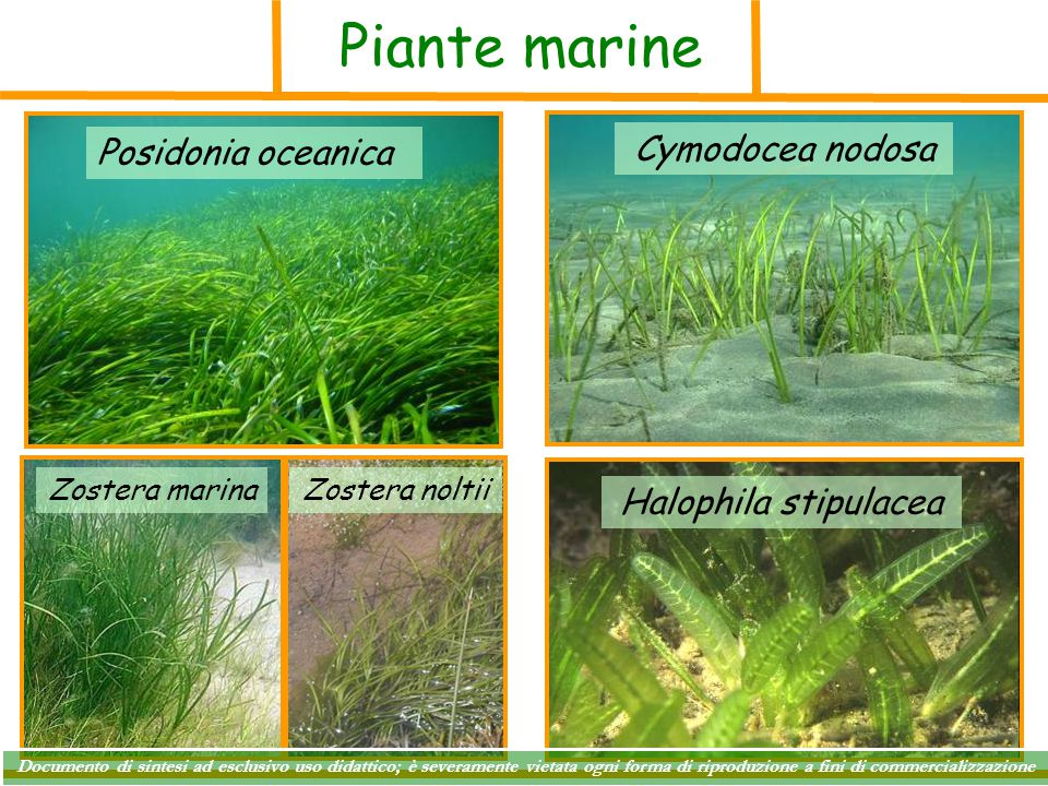 Piante marine Cymodocea nodosa Posidonia oceanica Halophila stipulacea