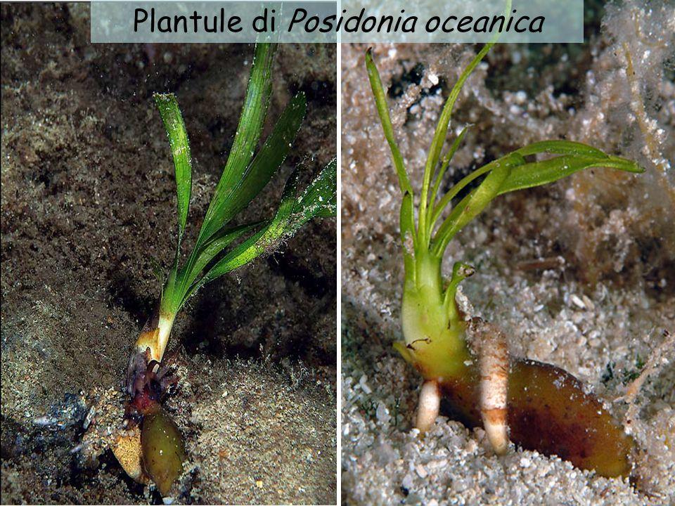 Plantule di Posidonia oceanica