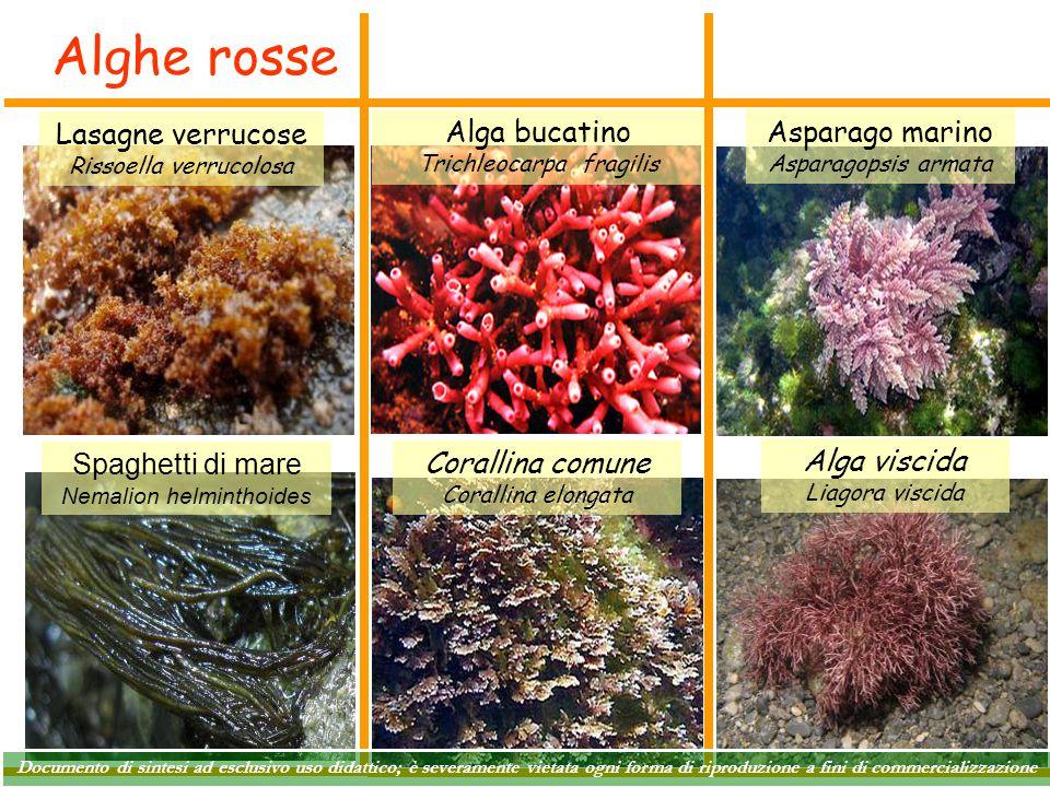 Alghe rosse Lasagne verrucose Alga bucatino